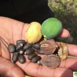 JATROPHA CARCUS:THE WEALTH CREATION PLANT
